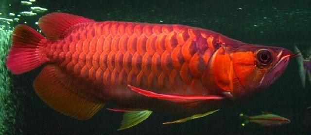 Nama Ikan Hias Merah yang Memberikan Pesona ketika Dipelihara