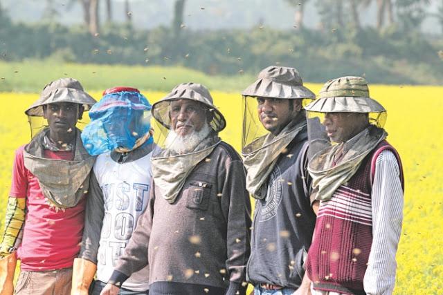 Apicultura en campo de colza en Blangladesh.