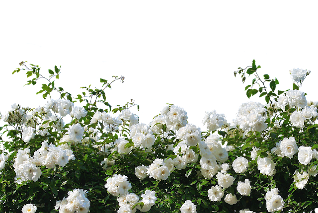white-roses-pictures