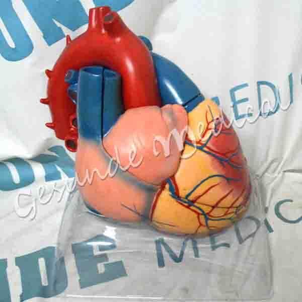 dimana beli torso organ jantung