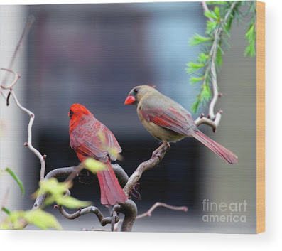 This is a screen shot of a photograph rendered on wood and available via Fine Art America. It features a couple of cardinals perched on a branch. The female (brownish) is on the right while the male (red) is on the left. Info re this print is @ https://fineartamerica.com/featured/cardinal-love-3-patricia-youngquist.html?product=wood-print