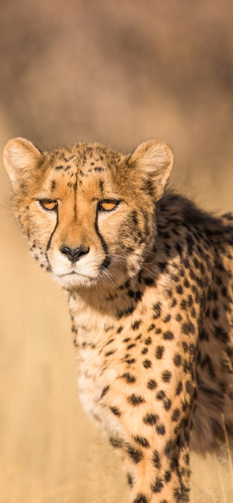 Photo of a cheetah.
