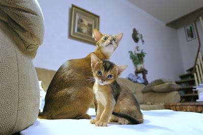قط آبيس سينيان Abyssinian cat