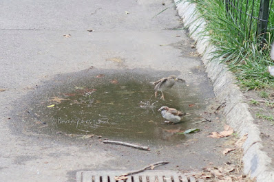 "This photo features aone young House sparrow jmping out of a puddle in Central Park while a male House sparrow stays in there. This bird type is featured in my three volume book series, ""Words In  Our Beak."" Info re these books is in another post on this blog @ https://www.thelastleafgardener.com/2018/10/one-sheet-book-series-info.html"