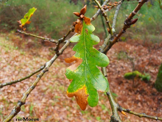 ROBLE: Quercus robur