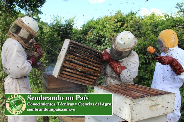 cosecha de miel en colmena