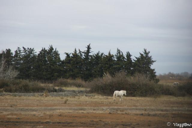 Cavallo Bianco della Camargue