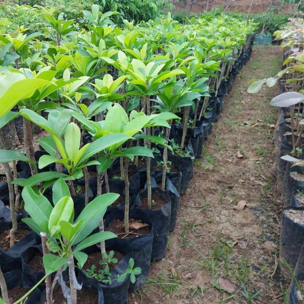 BIBIT BUAH SAWO MENTIMUN SAWO TIMUN OKULASI CEPAT BERBUAH Kalimantan Selatan