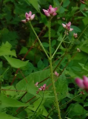ママコノシリヌグイの花