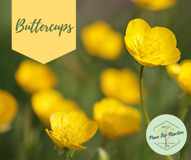 Spring safety 10 common flowers that are toxic to dogs Buttercups