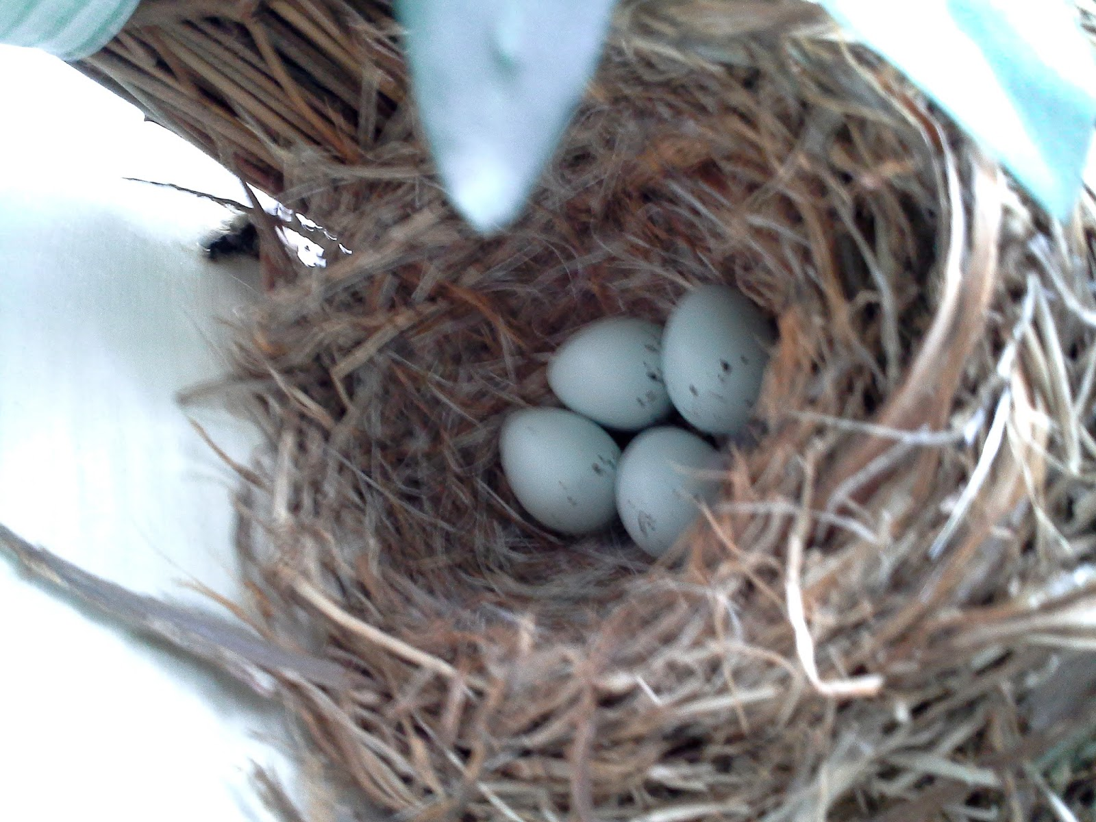World Bird Sanctuary House Finch Nest In Our Front