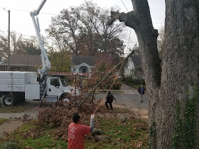 Oak tree removal