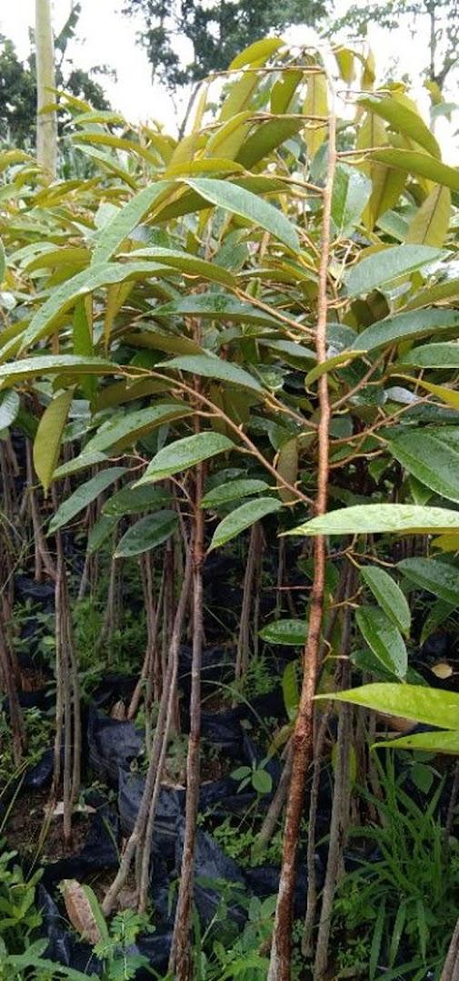 durian bawor tinggi 1 meter up Banda Aceh