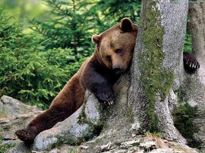 bears normal resolution hd desktop background wallpaper 12