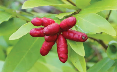 โปร่งกิ่ว พรรณไม้พื้นเมืองของไทย ดอกสวยแปลกดี ผลสุกสีแดง รสหวาน กินได้