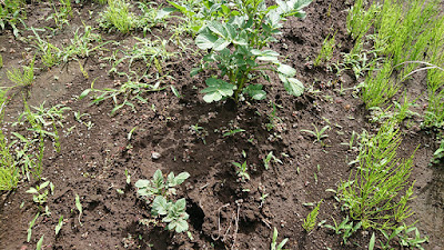 ニシユタカが雑草と共に成長中