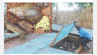 How snail farmers make millions in Nigeria