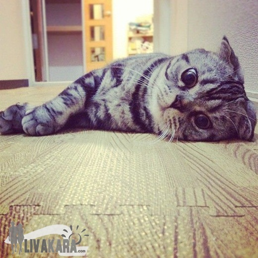 Shishi Maru Kucing Abu Abu Primadona Internet Info