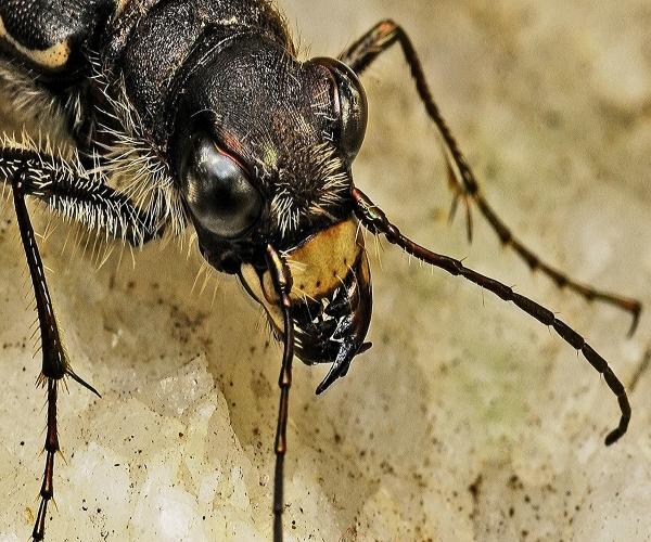 https://www.bioorbis.org/2014/02/besouro-tigre-o-cacador-cego.html