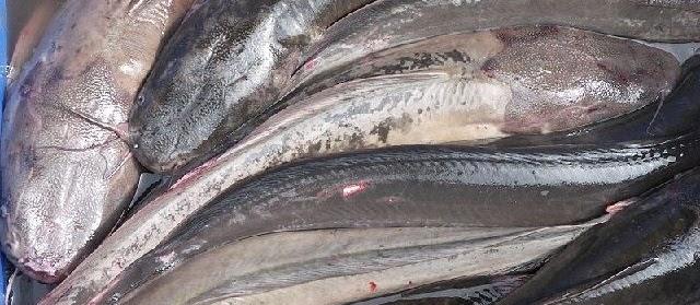 Ikan Keli (Lele Keli), Habitat, Penyebaran, serta Kebiasaan Hidup