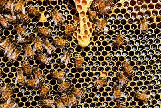 العسل  أو عسل النحل الطبيعي Bee's honey