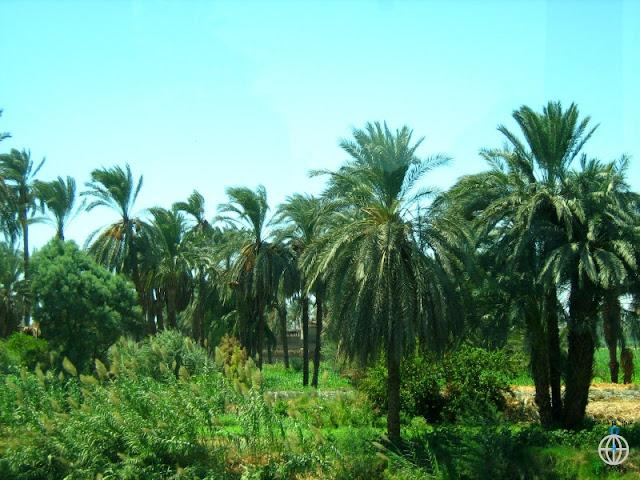 palmy egipt