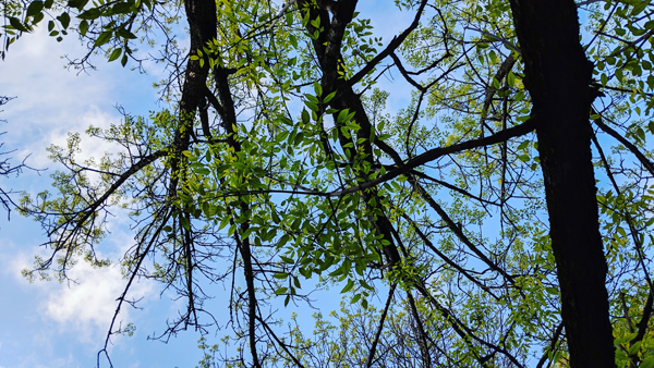 image of green buds bursting open into leaves on a tree, set against a bright blue sky