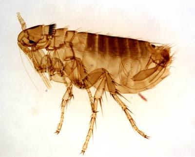 pulga adulta