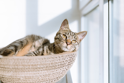 tabby cat sitting in basket next to window