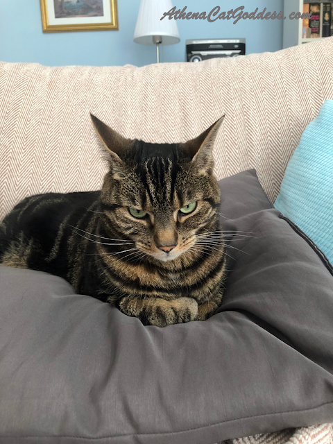 tabby cat sitting on cushion with ears pricked back and folded paws