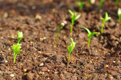coriander uses how to grow coriander
