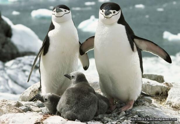 Penguin Chinstrap (Pygoscelis Antarctica)