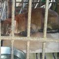 Kucing Emas Langka Terjerat Perangkap Babi, Ukurannya Sebesar Anjing Dewasa
