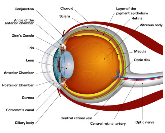 Human Eye Diagram Blind Spot Wiring For Contactor Switch Physics Gyan The Main Part Of Are Cornea Iris Pupil Lens Aqueous Humour Optical Nerve Retina And Ciliary Muscles
