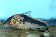 Jenis Ikan Corydoras coriatae