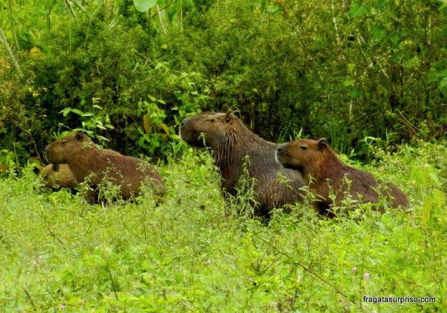 Grupo de capivaras no Pantanal do Mato Grosso