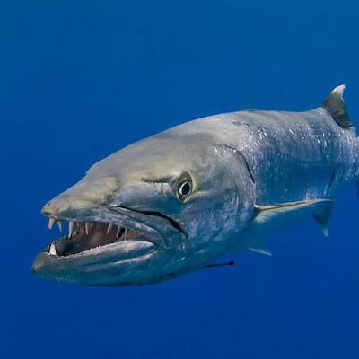Mengenal Ikan Barakuda yang Galak Namun Bermanfaat