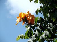African tulip tree orange blooms - Foster Botanical Garden, Honolulu, HI