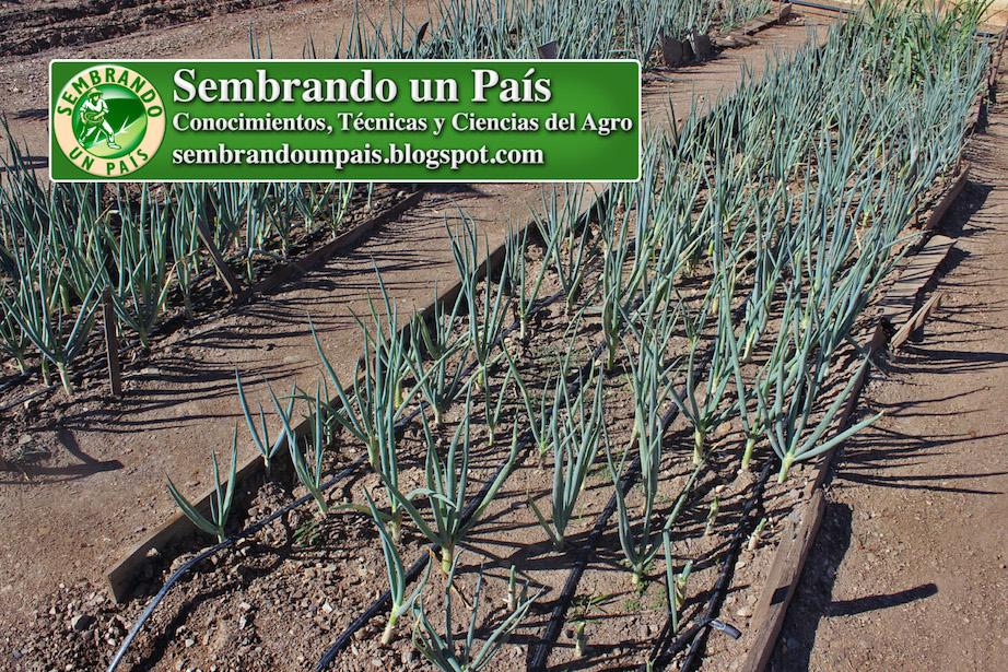 cultivo de cebollín en cantero