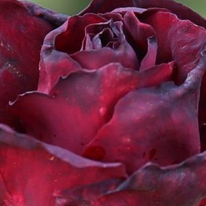 Mawar merah tua melambangkan penyesalan cinta