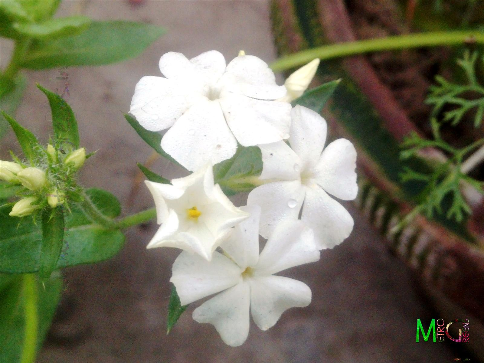 Metro Greens: White Phlox Blooms