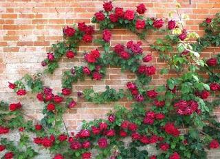 tanaman hias mawar blaze