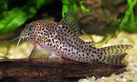 Jenis Ikan Corydoras multimaculatus