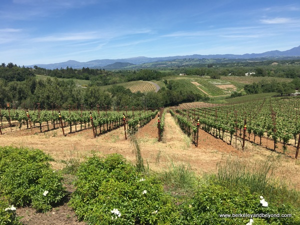 vineyards at Thomas George Estates in Healdsburg, California