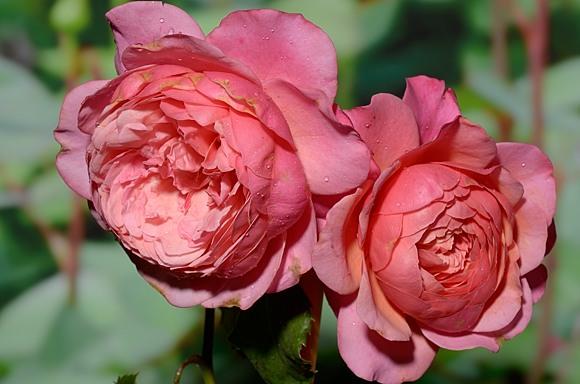 Prix P.J. Redoute rose сорт розы фото