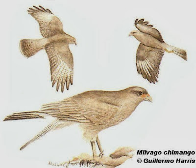 Chimango Milvago chimango