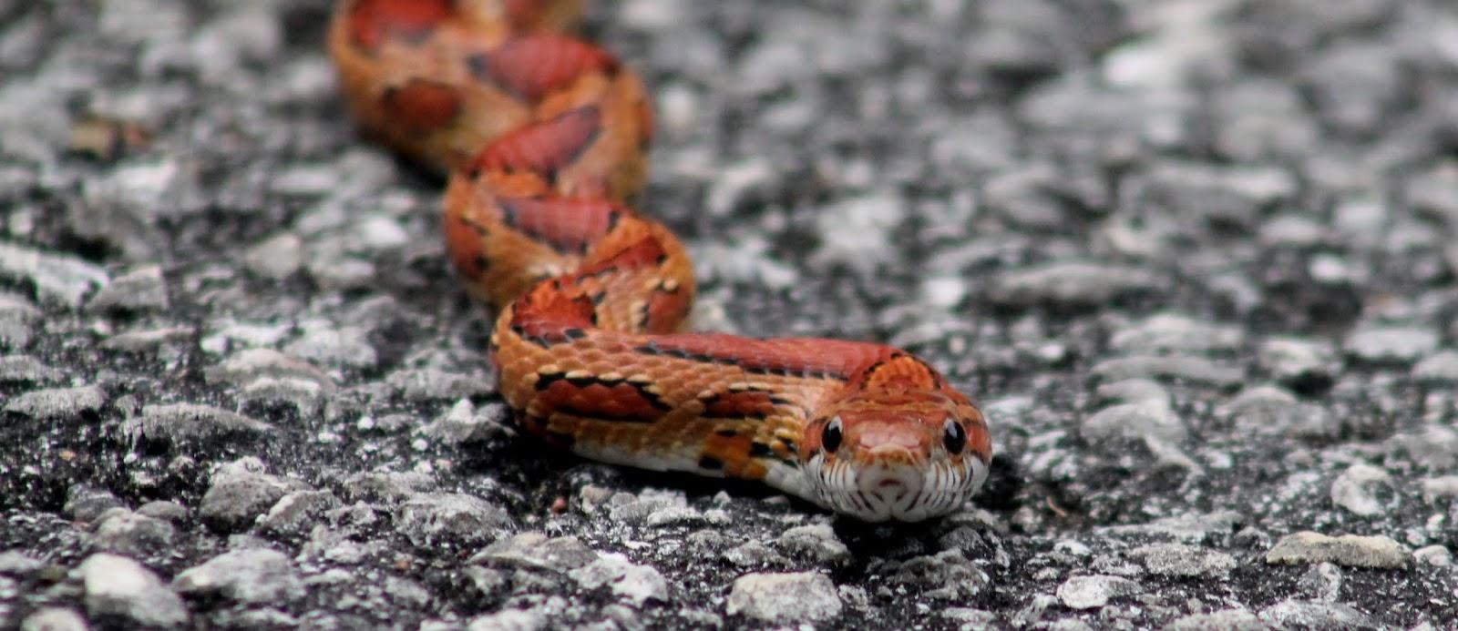 Corn Snake o Serpiente del Maíz