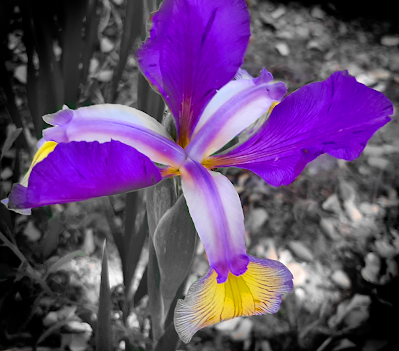 iris purple and gold