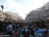 Hanami (party under sakura, the blooming cherry trees) - Ueno Park, Tokyo, Japan