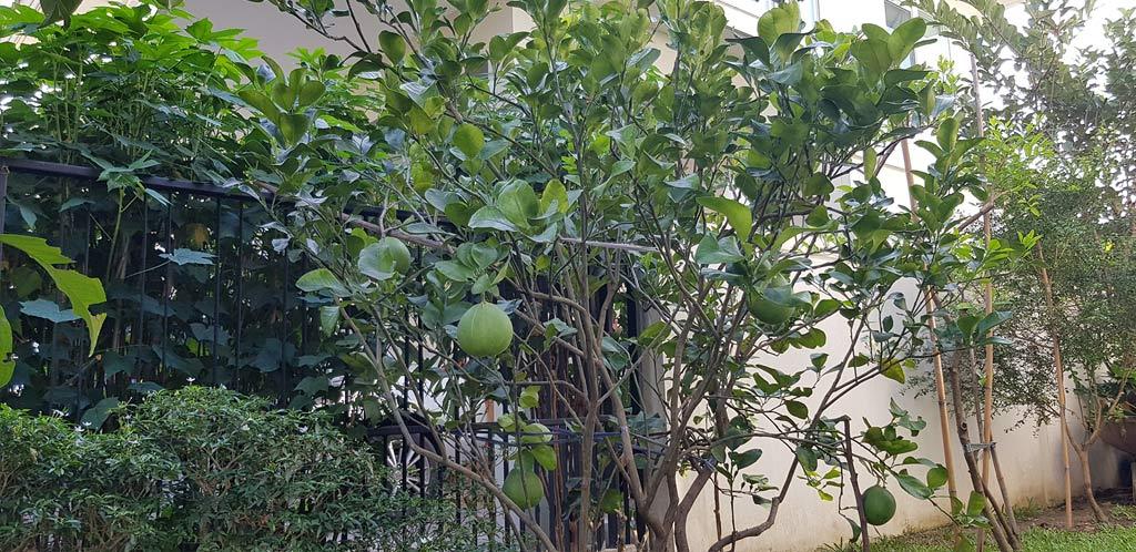 ต้นส้มโอขาวน้ำผึ้ง